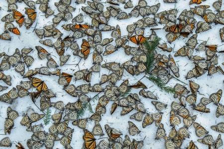 El tercer premio de la categoría 'Naturaleza'. Una alfombra de mariposas monarca cubre el suelo del Bosque de Mariposas 'El Rosario' en Michoacán, México.