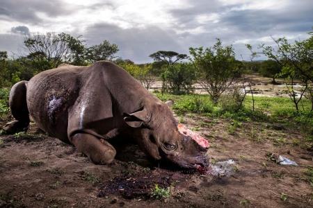 Esta foto de un rinoceronte con el cuerno cortado matado por cazadores furtivos en Sudáfrica obtuvo el primer premio de Historias de la categoría 'Naturaleza'.