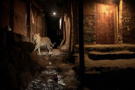 Categoría 'Naturaleza', segundo premio. Un leopardo salvaje en el Parque Nacional Sanjay Gandhi, una zona protegida en la parte norte de la ciudad en Bombay, India.